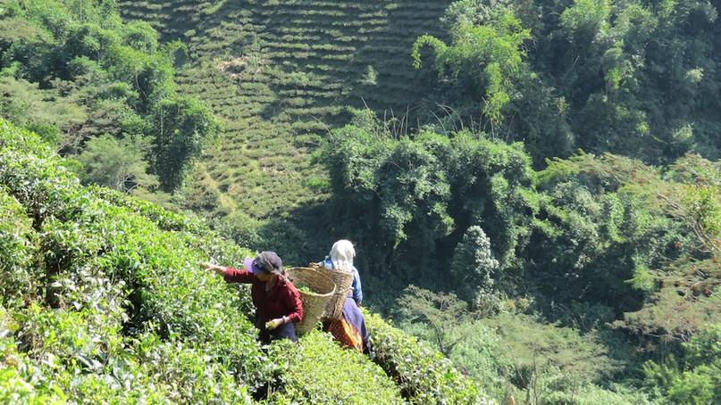 Tea garden Selimbong in Darjeeling.JPG