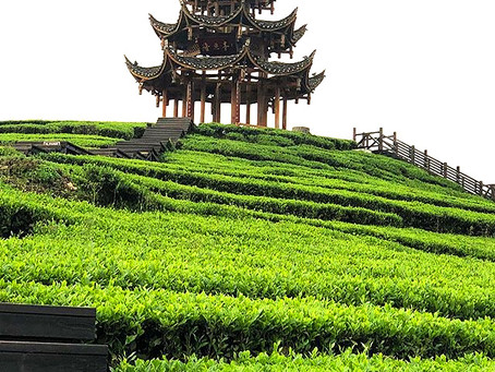 Ökotopias Leidenschaft für Chinas Bio-Grüntee