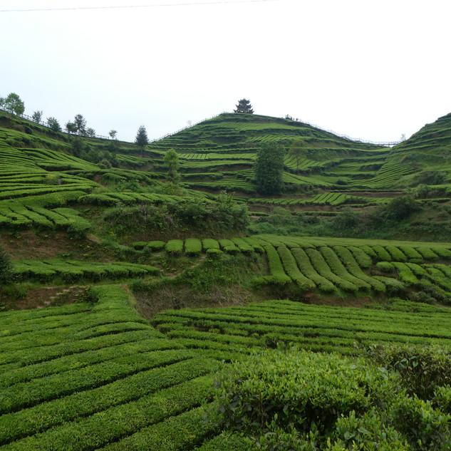 Organic tea plantation.JPG