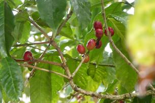 Coffee plant.JPG