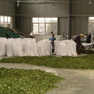 Tea manufacturing in China _bearbeitet.j