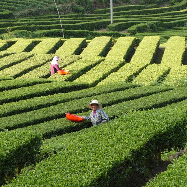 Tea pickers in China_bearbeitet.jpg