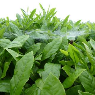 Organic tea proved by spiders.JPG