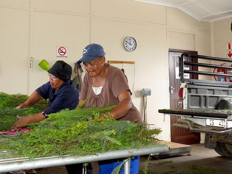 Südafrikas Tee-Geheimtipp - South Africa´s Tea Insider Tip