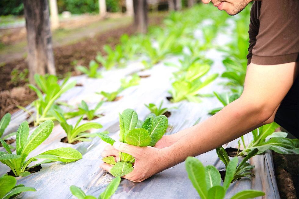 farm-man-working-in-his-organic-lettuce-