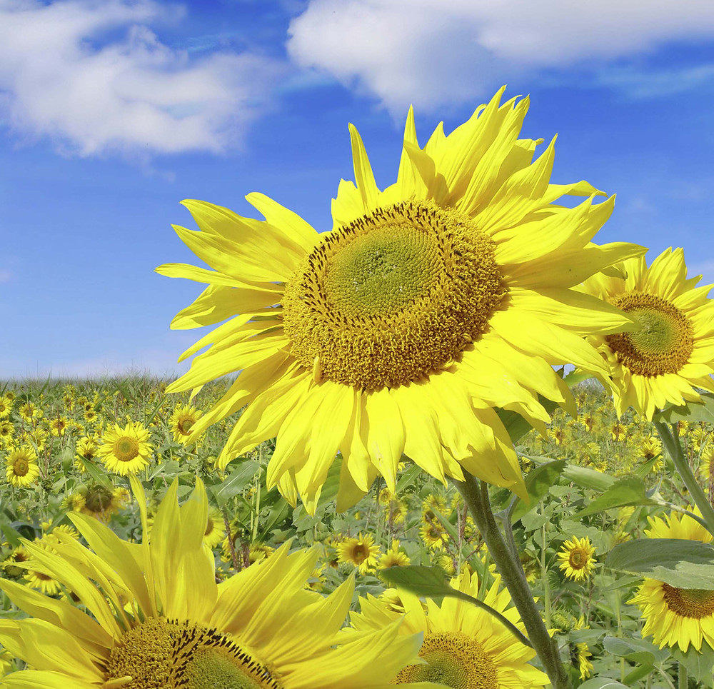 Sunflowers Enjoying Blue Skies