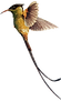 streamer-tailed-hummingbird png_edited.p
