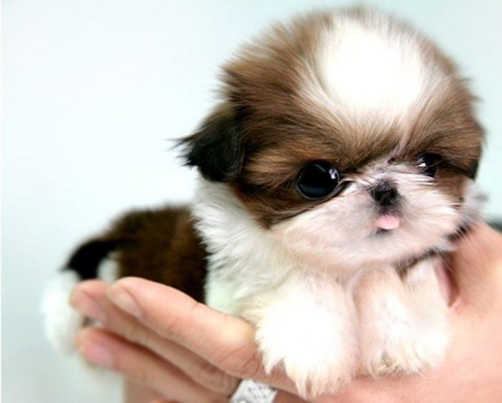 Los-perros-más-pequeños-del-mundo-2-730x586