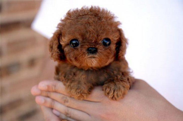 Los-perros-más-pequeños-del-mundo-12-730x483