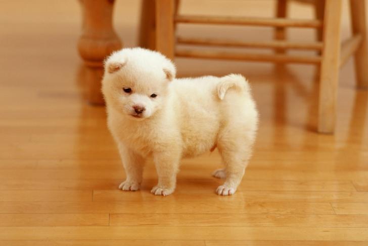 Los-perros-más-pequeños-del-mundo-15