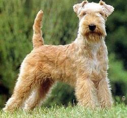 lakeland-terrier-perros-mascotas-cachorros-venta-expoperro