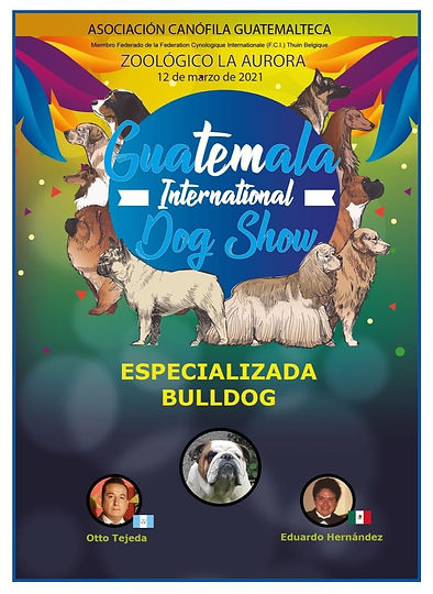 especializada bulldog ingles guatemala 2