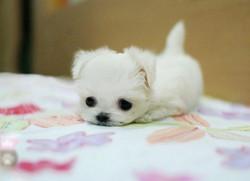 Los-perros-más-pequeños-del-mundo-6-730x531