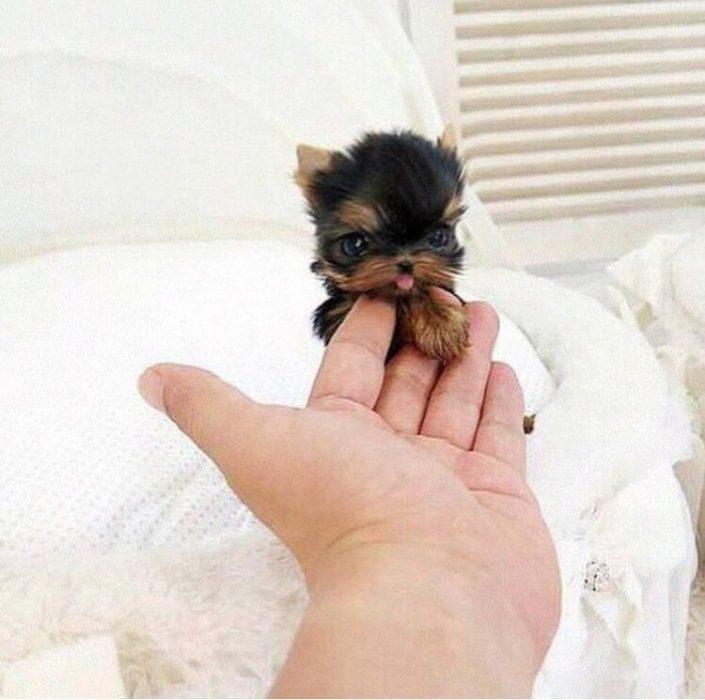 Los-perros-más-pequeños-del-mundo-22-705x700
