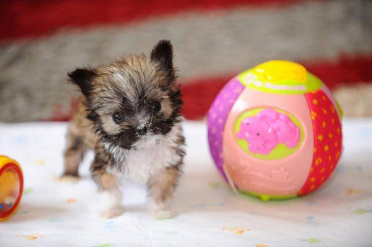 Los-perros-más-pequeños-del-mundo-24-730x485