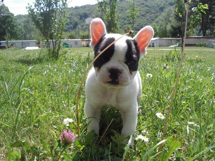 Los-perros-más-pequeños-del-mundo-3-730x548