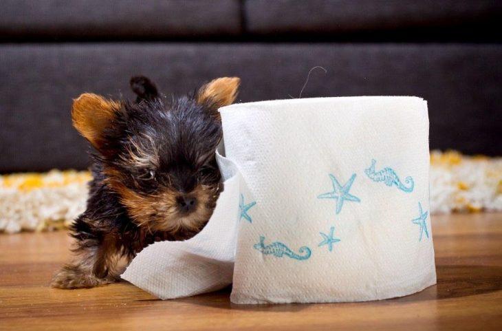 Los-perros-más-pequeños-del-mundo-11-730x481