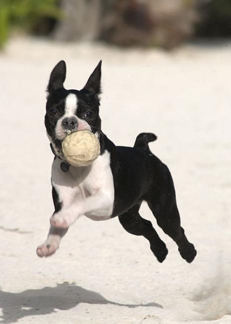 boston_terrier_4