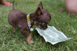 Los-perros-más-pequeños-del-mundo-18-730x487