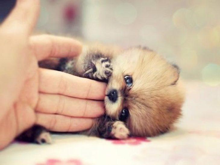 Los-perros-más-pequeños-del-mundo-10-730x548