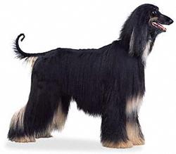 perro-afano