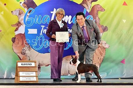 Boston Terrier VIP, el Mejor Boston Terrier de Guatemala