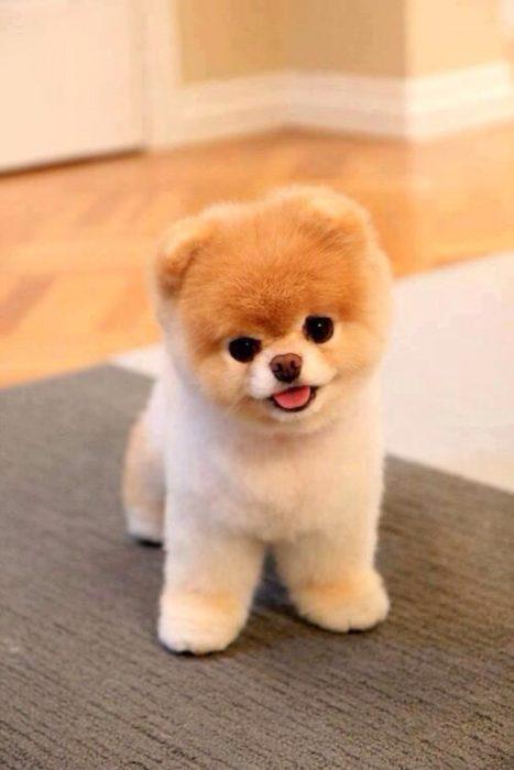 Los-perros-más-pequeños-del-mundo-1-467x700