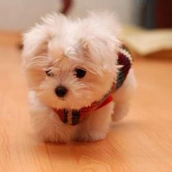 Los-perros-más-pequeños-del-mundo-19-700x700