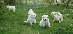 fotos-perros-akita-inu