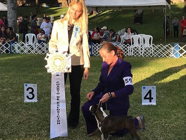 Kiki La reina Boston terrier de Guatemala