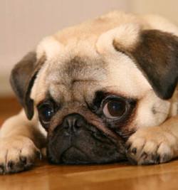 fotos-de-perros-de-raza-pug-01z1