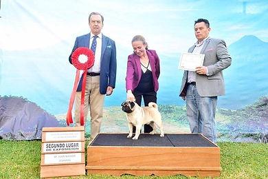 Mambo el mejor pug de Guatemala