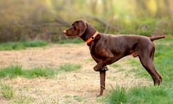 perros-braco-aleman