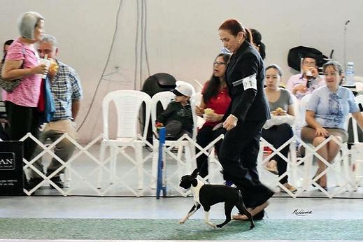 Boston Terrier X.J. Jack (Espinoza) Mex FCI, en Guatemala