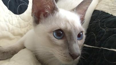 Cat Kitten Jazmine Old-Style Siamese Weichenmaat Thai Blue Point Champion