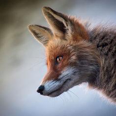 fox-4589927.jpg