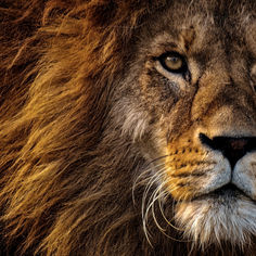 lion-3576045.jpg