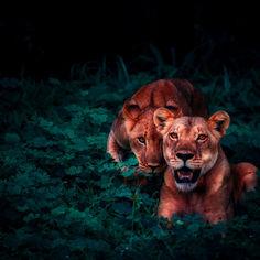 lions-2702828.jpg