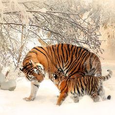 tiger-591359.jpg