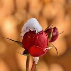 rosebud-6006985.jpg