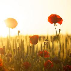 poppies-174276.jpg