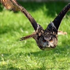 owl-3340957.jpg