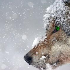 wolf-2043464.jpg