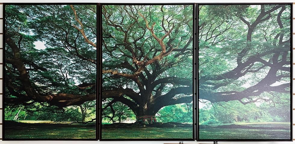 Canvas tríptico árvore - Quadro Pronto