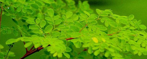 moringa-oleifera-ConvertImage.png