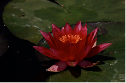 Nymphaea Escarbucle