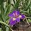 Thumbnail: Iris Luisiana ( variedad de colores)