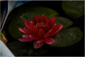 Nymphaea Baby Red