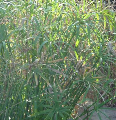 Papiro Común o Cyperus Alternifolius