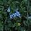 Thumbnail: Myosotis acuaticum (cubre suelo de agua)
